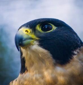 3670739521_471029e1fb_z Peregrine Falcon