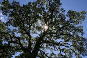 829099164_c4ffc0c073_z  Oak Tree