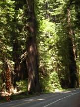 California Coastal Redwoods