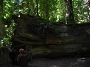 Mom-in-law near fallen redwood tree