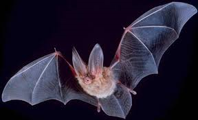 untitled  Bat Townsend's Big Eared Bat via wikipedia