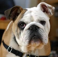 images Origin of the domestic dog via wikipedia