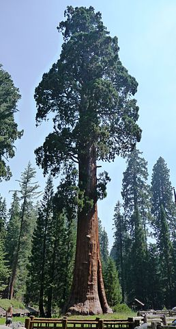 258px-Sequoia_National_Park_-_Sentinal_Tree