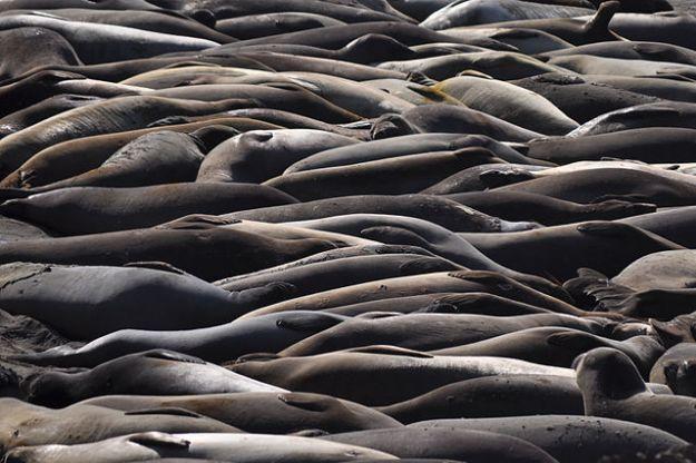 Elephant Seals at Piedras Blancas, California via wikipedia