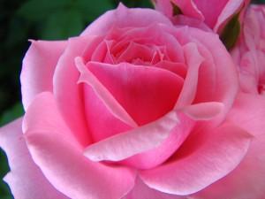 194753461_12dbf74ccd_z  Barbara Bush Rose