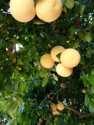 Grapefruit tree in Palm Desert