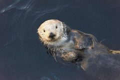 16228606725_33529a04ca_m Sea Otters Monterey Bay Aquarium by Christopher Michel on Flickr