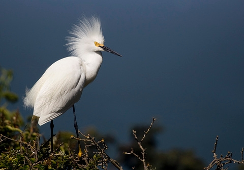 Snowy Egret via National Park Service