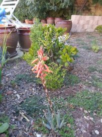 My flowering succulent