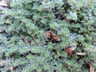 Another section of wooley thyme, note the fuzzy leaves