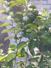 My lime tree is blooming