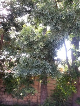 Another view of trees that shows the leaves
