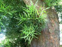 African Fern Pine in Pretoria (Africa) by JMK
