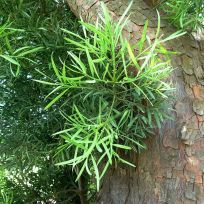 African Fern Pine in Pretoria (Africa) by JMK