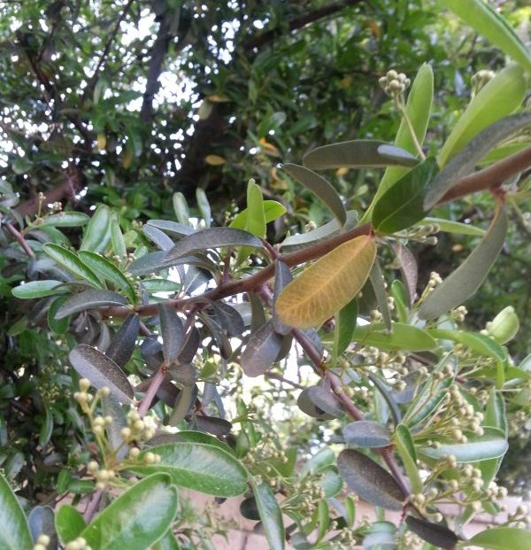 Sharp thorn near leaf, center of branch