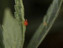 Red Spider Mite (magnified)