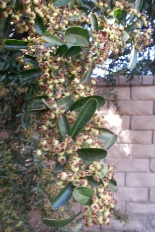 Pyracantha with green berries