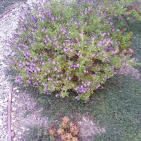 Purple Sage and Woolly Thyme ground cover