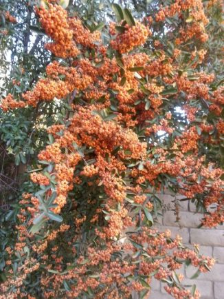 Large clusters of pyracantha berries