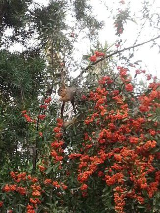 Squirrel munching on berries