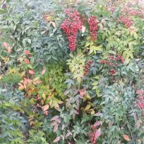 Heavenly bamboo berries
