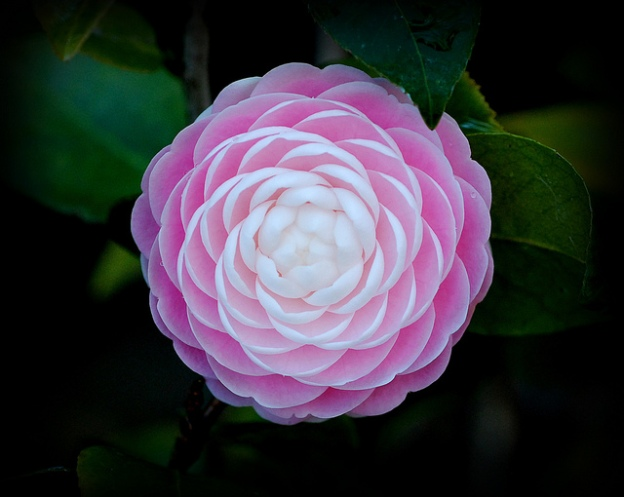 Pink Perfection Camellia by Trish Hartmann