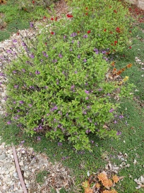 Blue Sage and Cranberry Sage