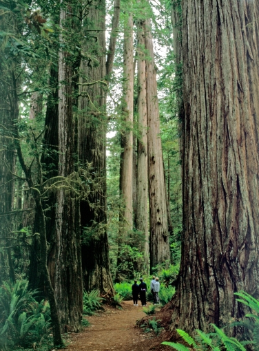 Ancient coast redwood towers about hikers at Simpson Reed Trail