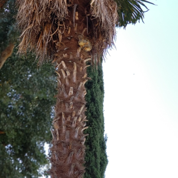 Spotted squirrel perched high up on Palm tree