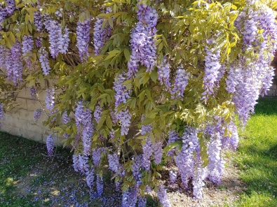 Neighbor's Wisteria